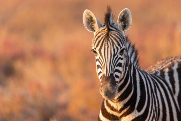 Namibia Etosha Nationalpark Zebra